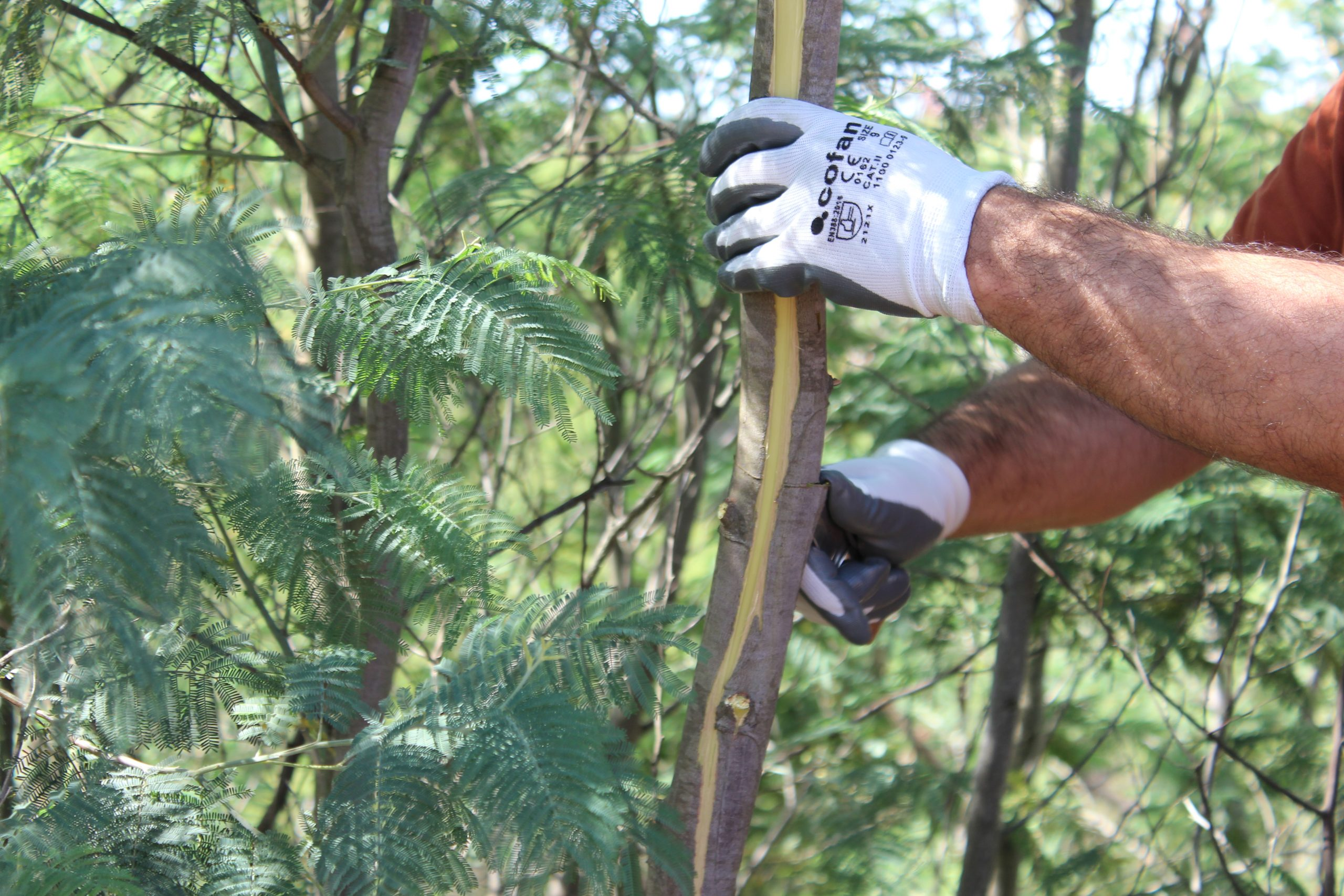 Control of Invasive Plants (Acacia sp.) in the intervention area of LIFE RIBERMINE in Lousal